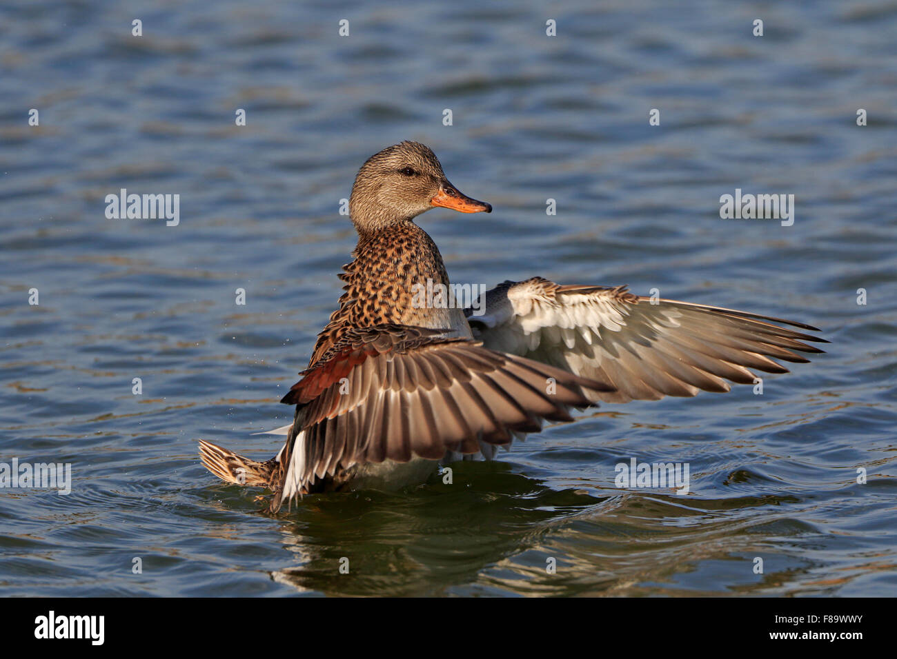 Male Gadwall flapping its wings - Stock Image
