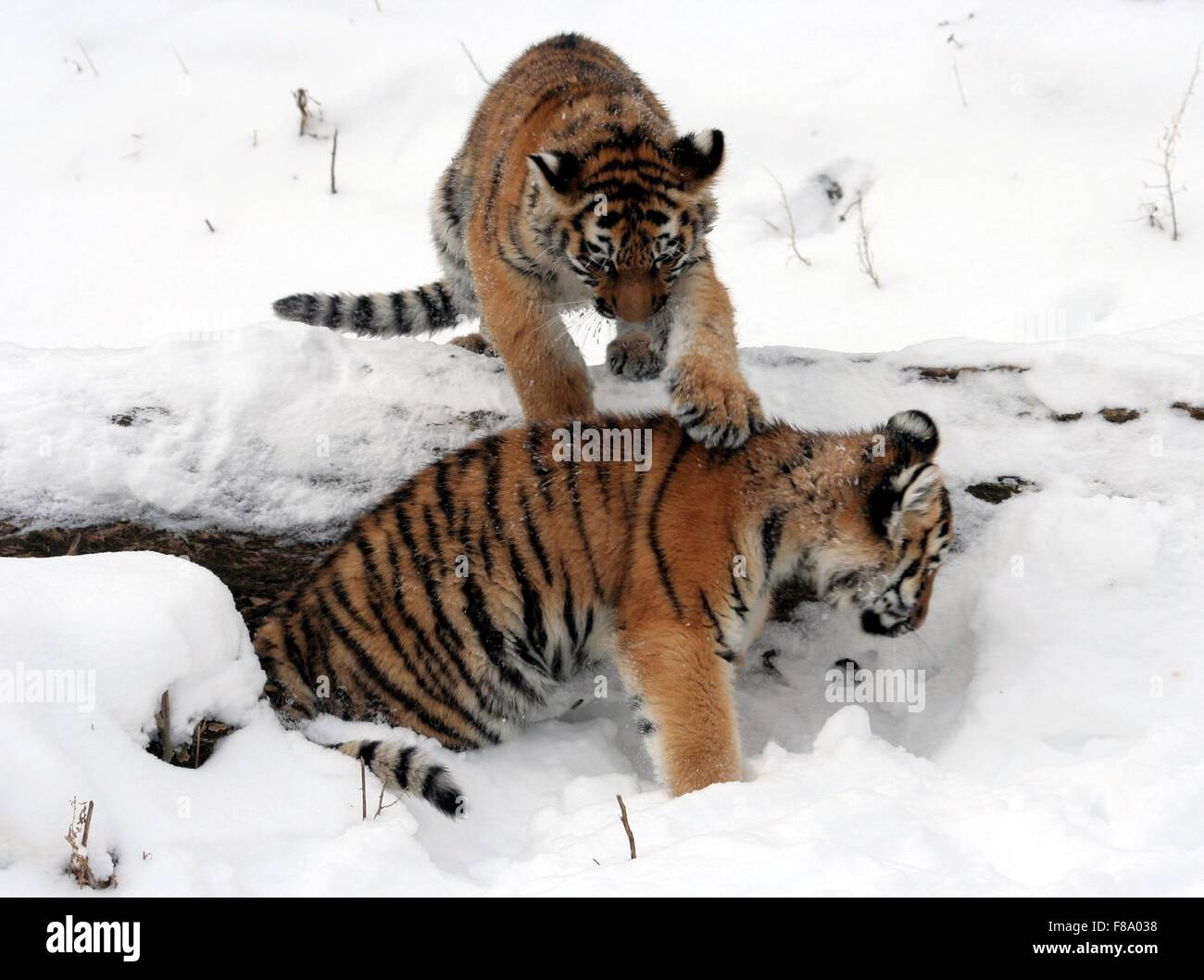 Tiger cubs playing in snow - Stock Image
