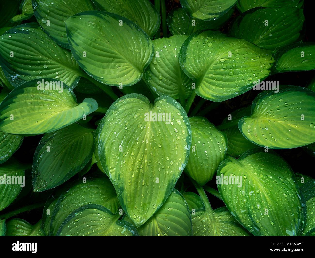 Close up of Hosta plant with rain drops. Schrieners Iris Gardens. Oregon - Stock Image