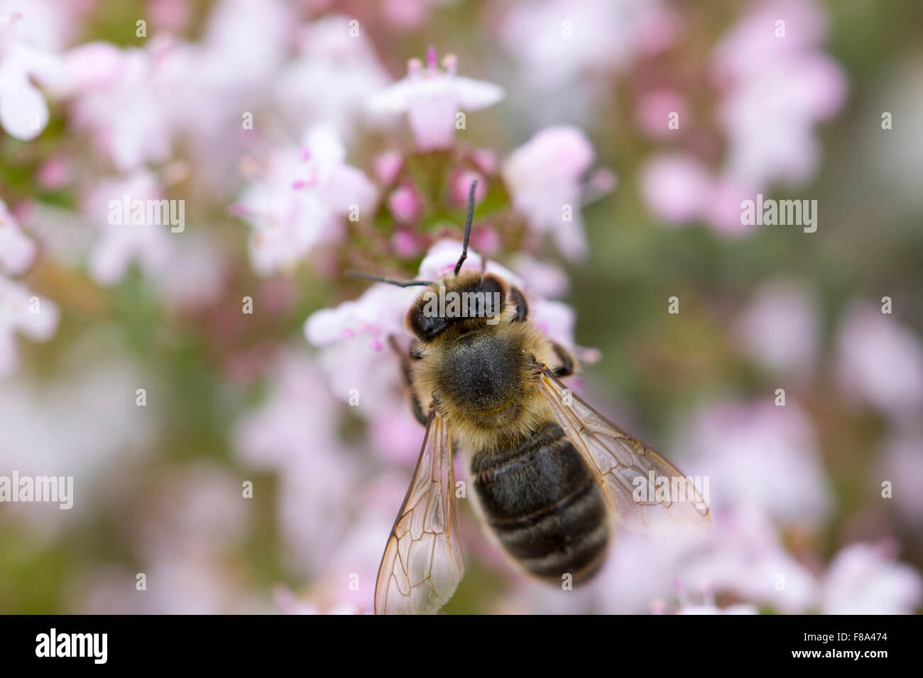 Pollination of thyme at spring, with a bee - Stock Image