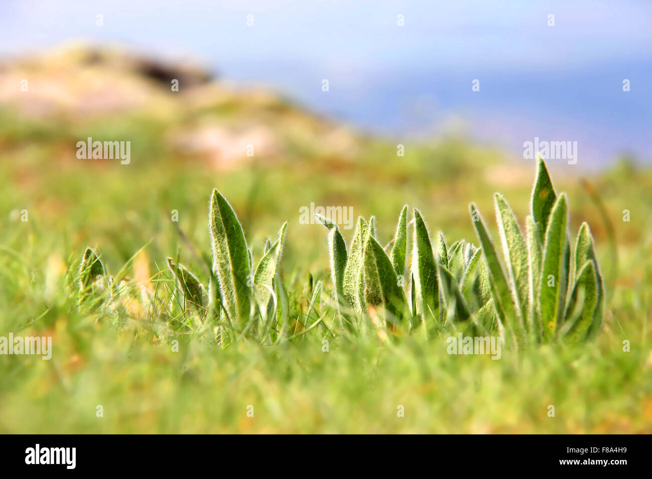 Grasses photographed on the mountain meadow - Stock Image