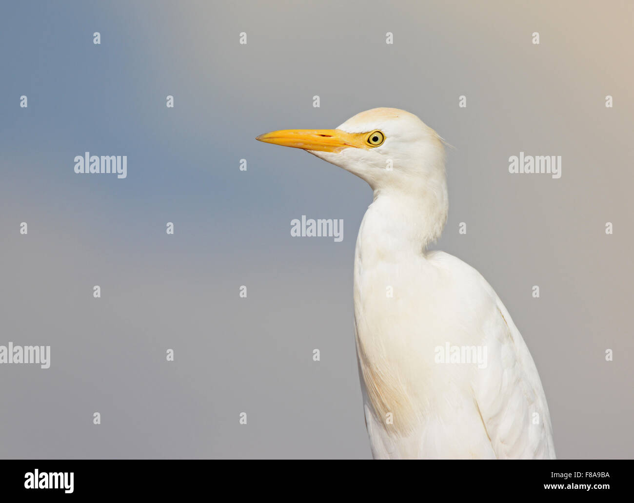 Cattle egret, Bubulcus ibis portrait Stock Photo