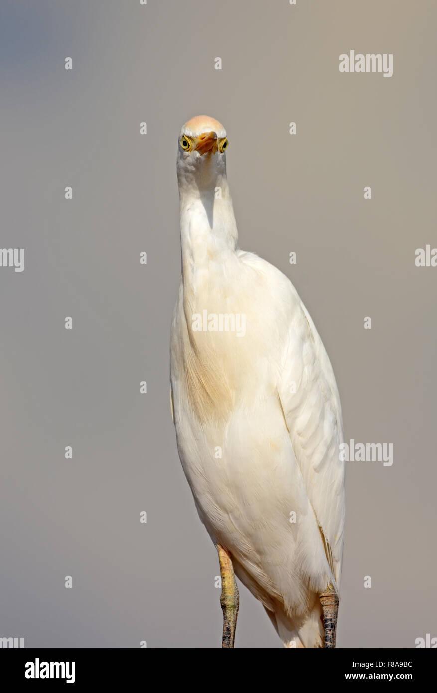 Cattle egret, Bubulcus ibis portrait Stock Photo