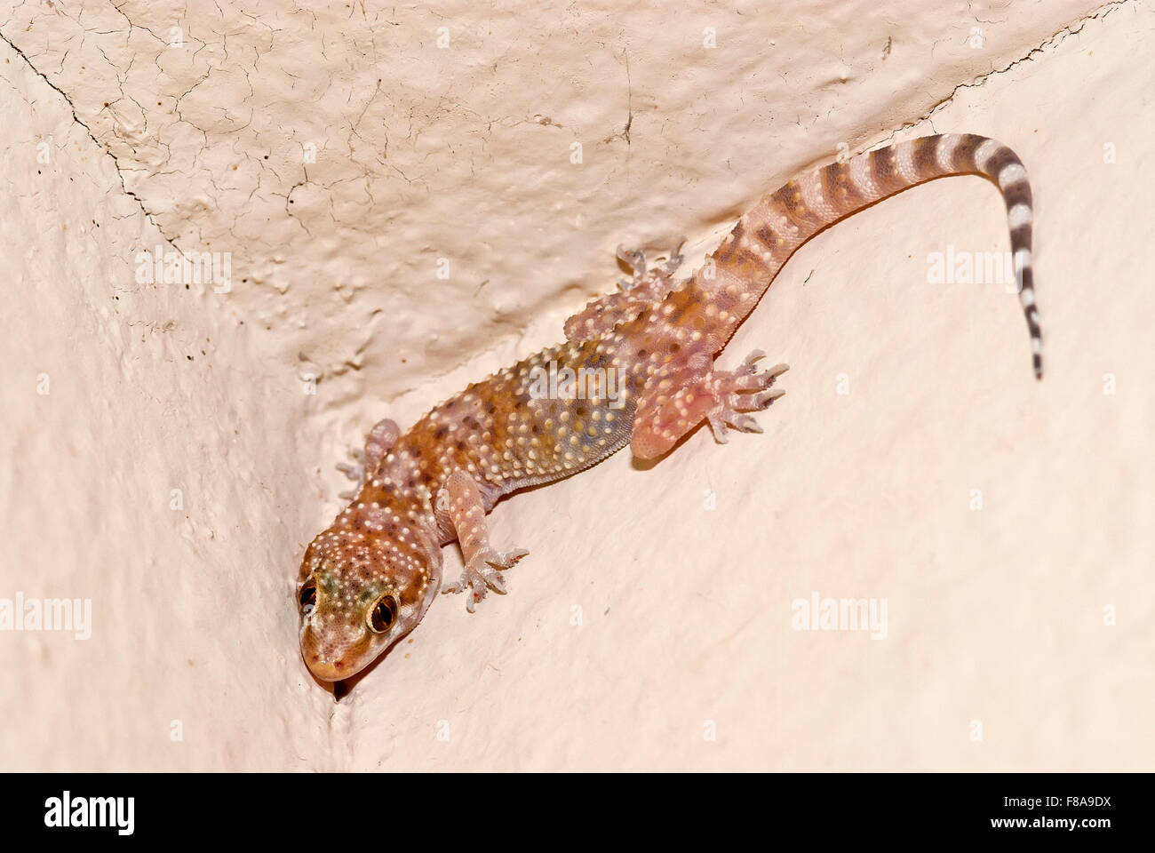 House gecko on a wall - Stock Image