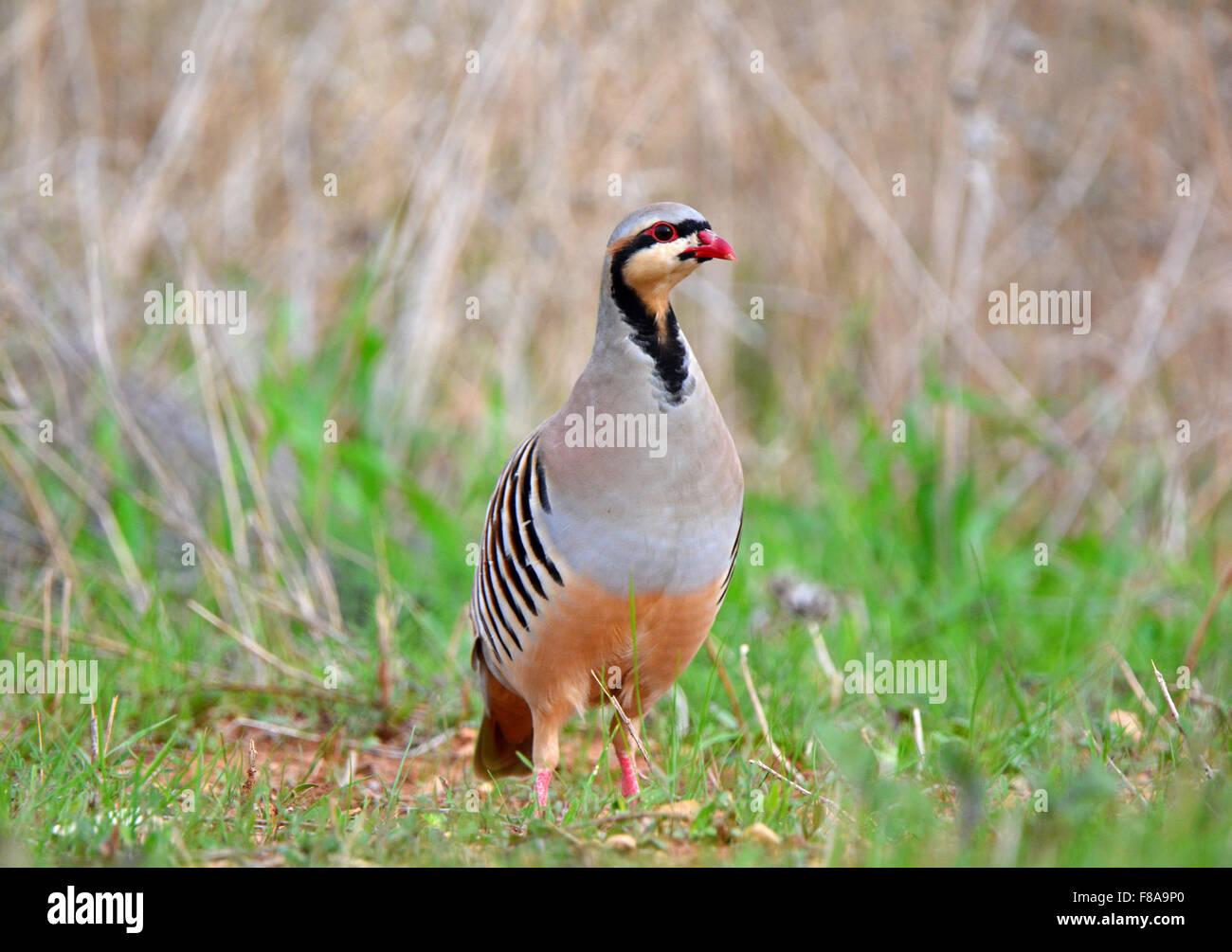 Red-legged Partridge, Alectoris chukar - Stock Image