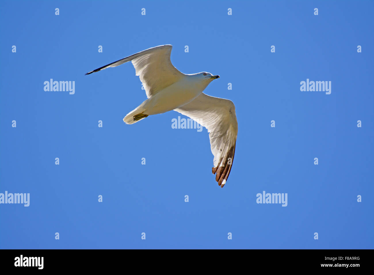 Ring-billed gull, Larus delawarensis - Stock Image