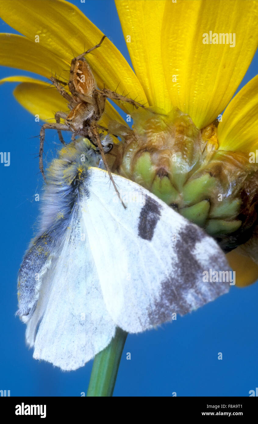 Spider hunts butterfly - Stock Image