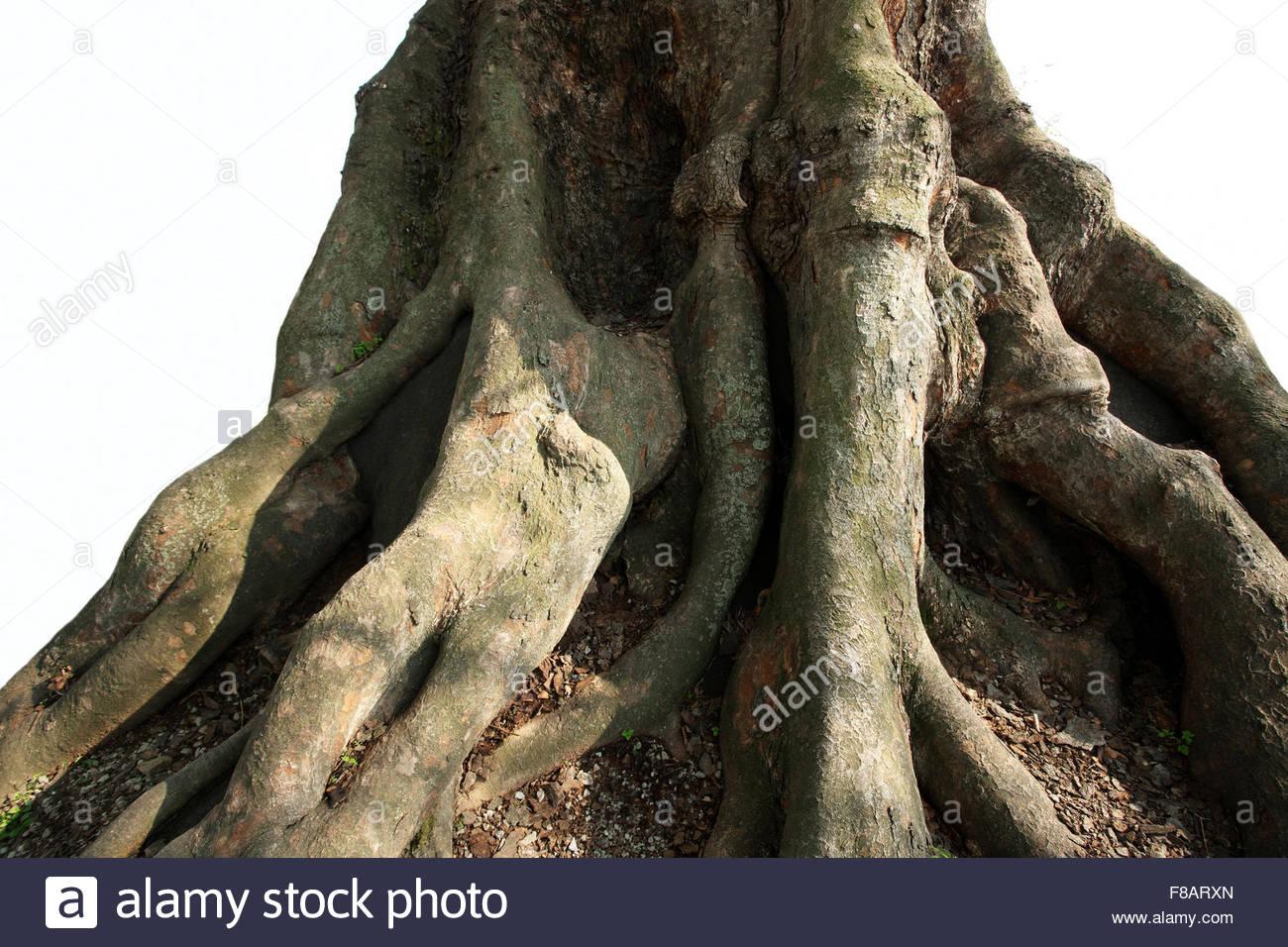 root of giant zelkova tree - Stock Image