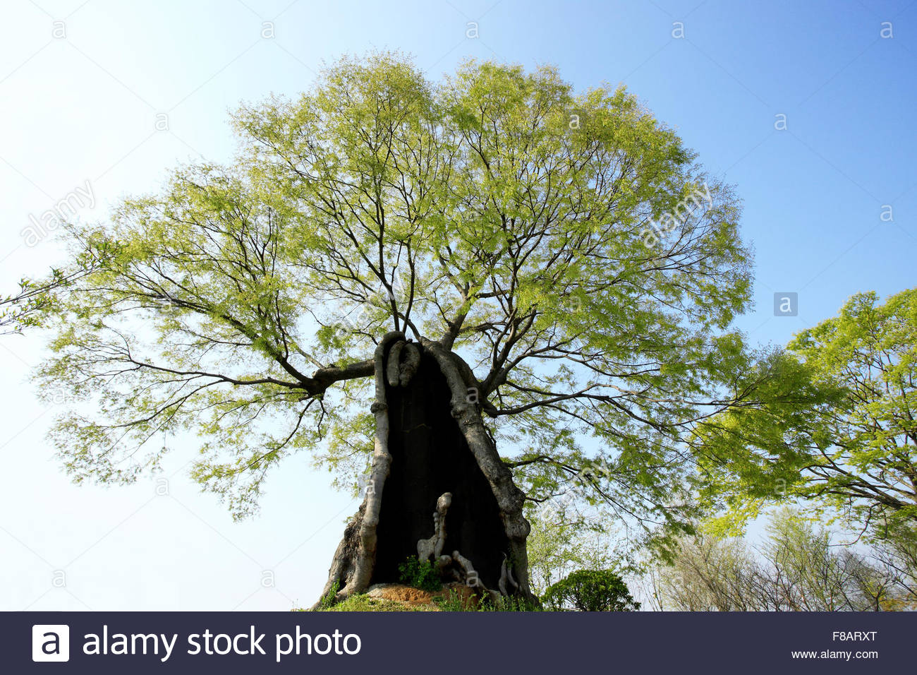 a giant zelkova tree - Stock Image