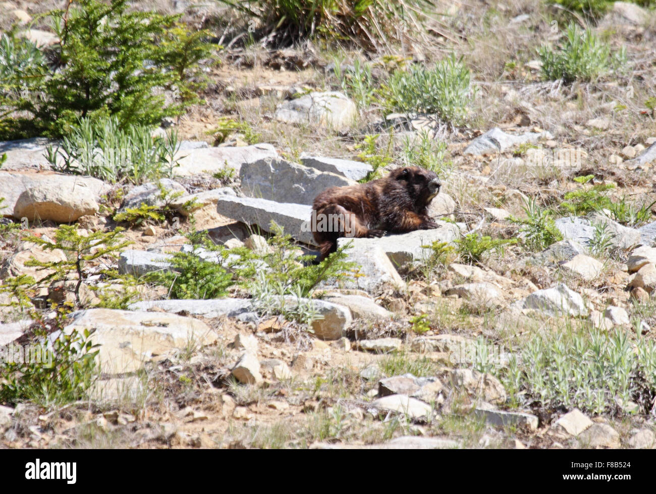 Vancouver Island Marmot on mountainside in Canada - Stock Image