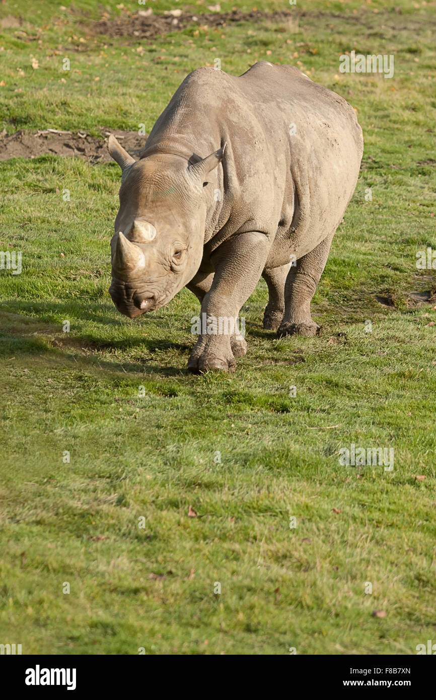 photo of a white rhino walking in the sun shine - Stock Image