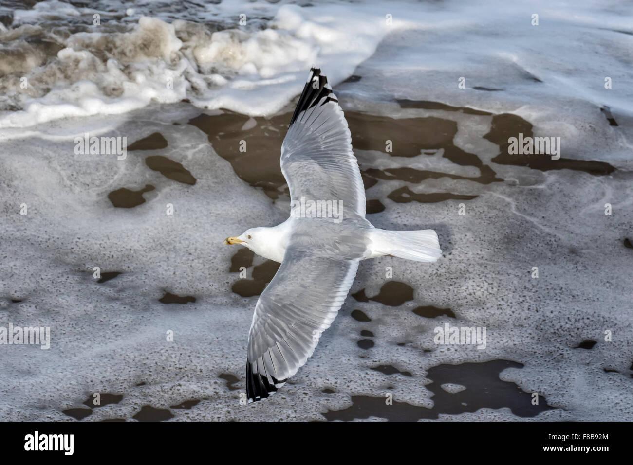 Herring Gull - Stock Image