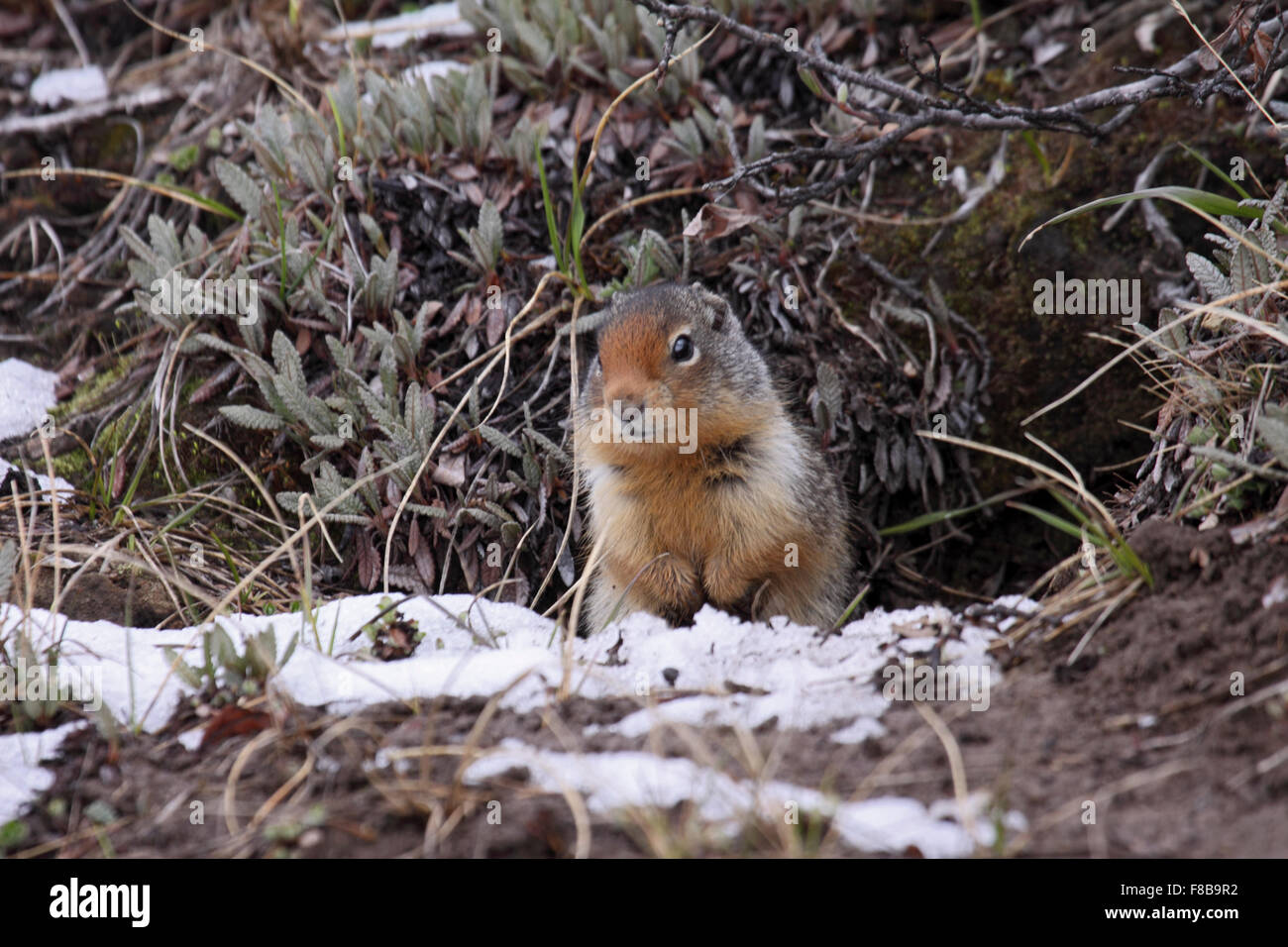Columbian ground squirrel at burrow entrance having emerged from Winter hibernation on mountainside in Canada - Stock Image