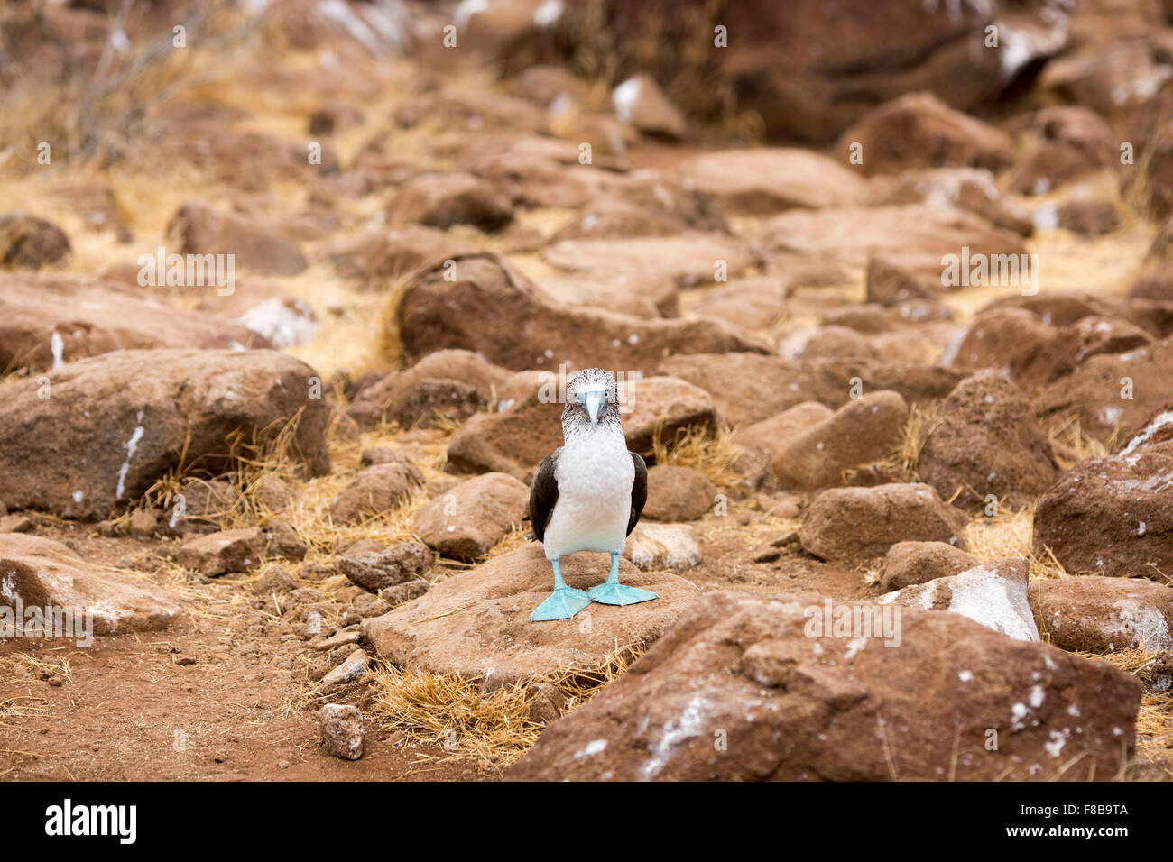 Wildlife on the Galapagos Islands , Ecuador . Blue-Footed Booby - Stock Image