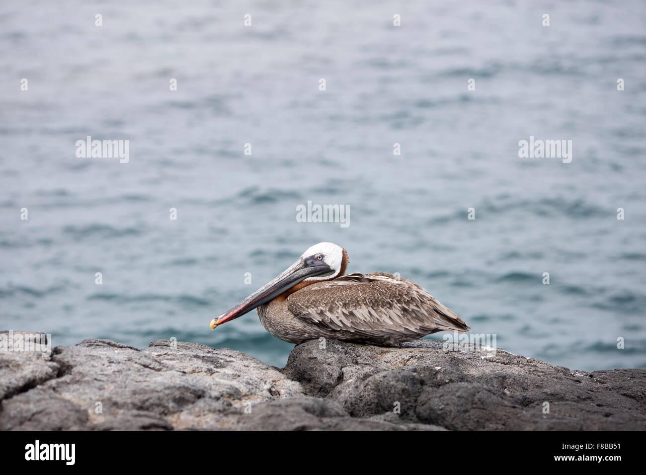 Wildlife on the Galapagos Islands , Ecuador . Brown Pelican - Stock Image