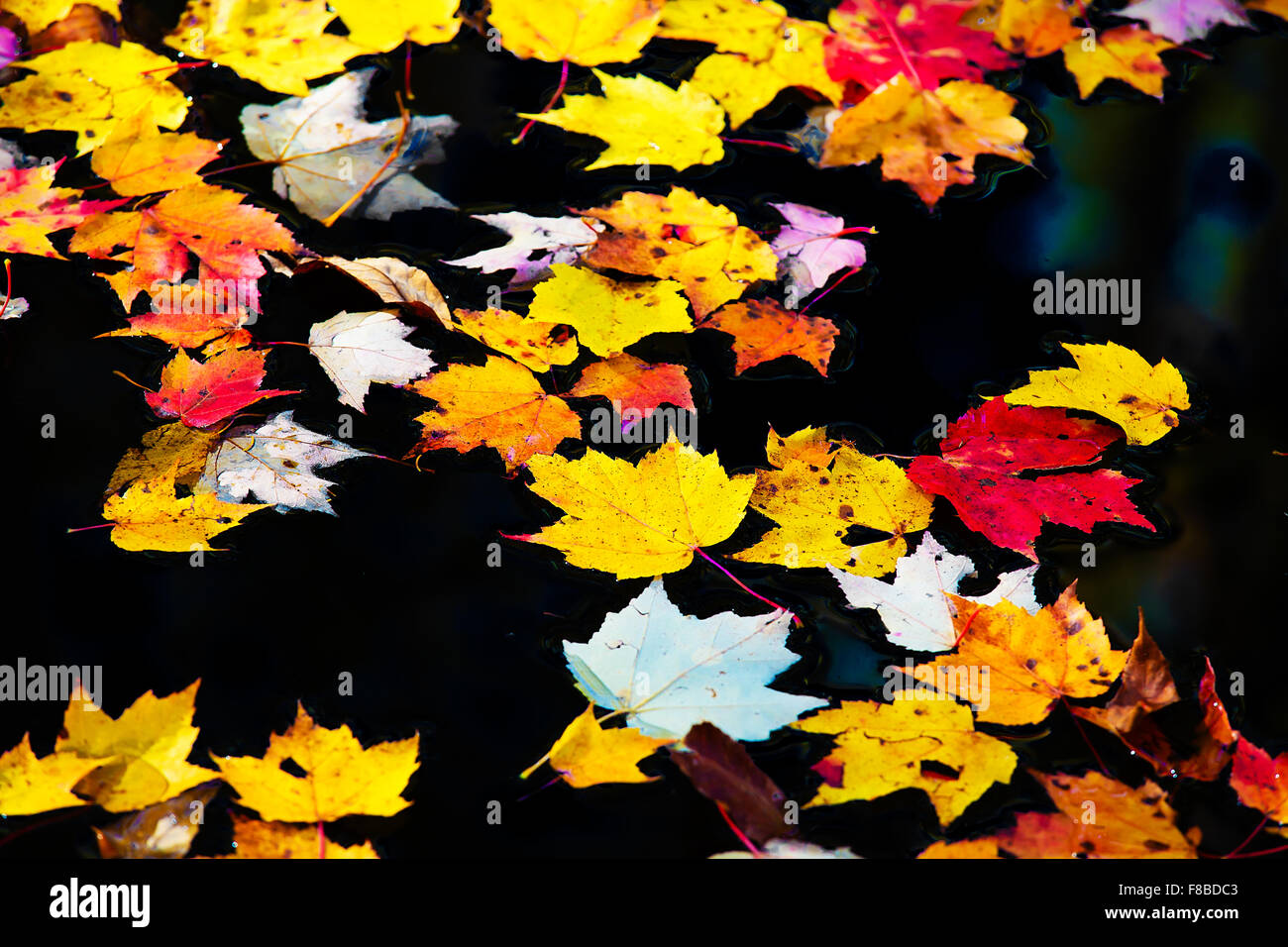 Autumn maple leaves floating in a pond of still water. - Stock Image