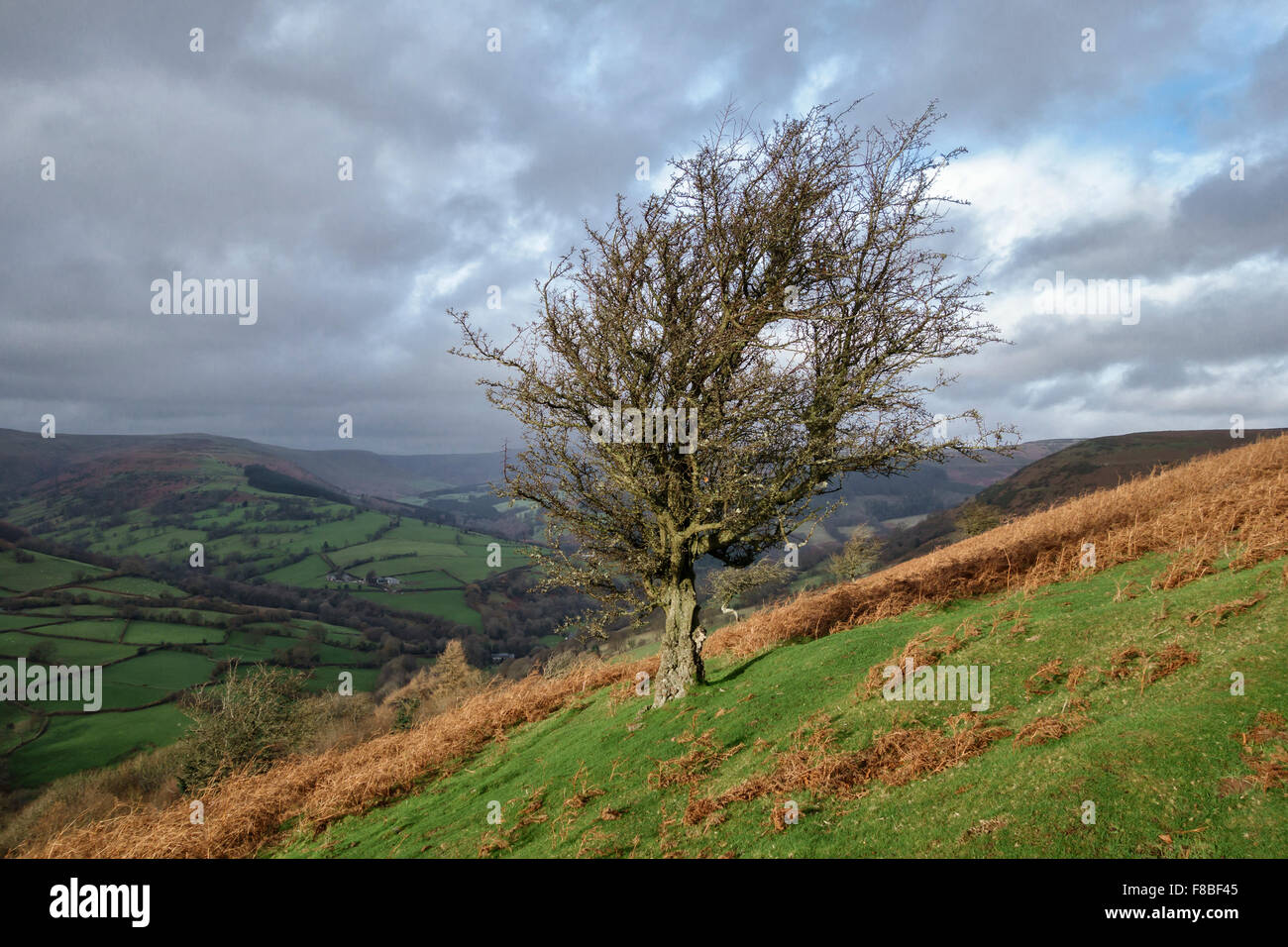 A solitary hawthorn tree above the village of Llanbedr near Crickhowell, Powys, Wales, UK, in the Black Mountains. - Stock Image