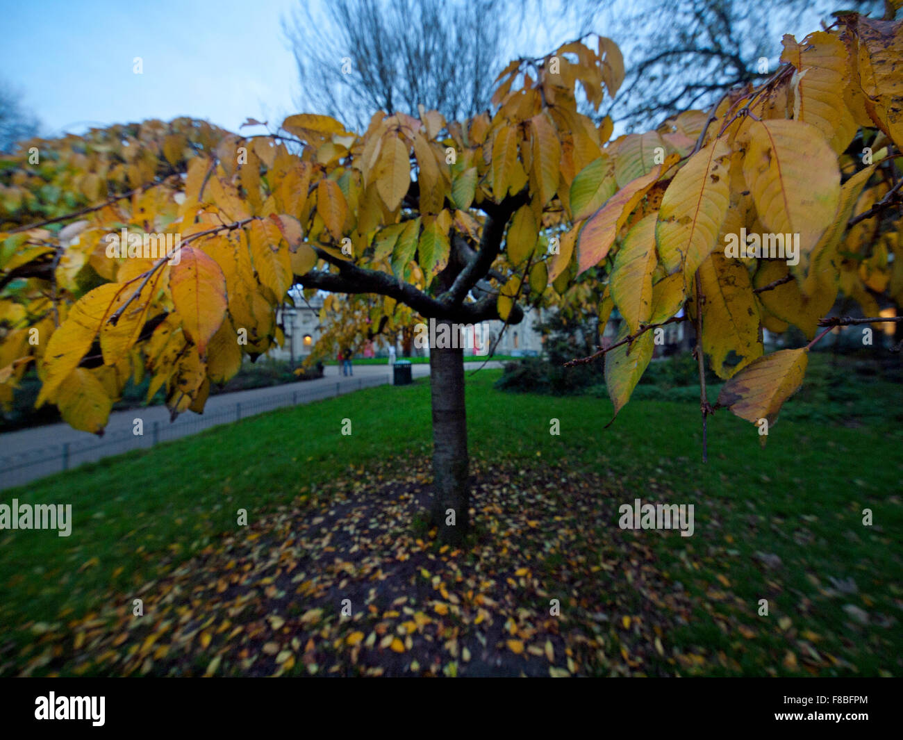A Small Weeping Elm during autumn in Pavilion Gardens, Brighton - Stock Image