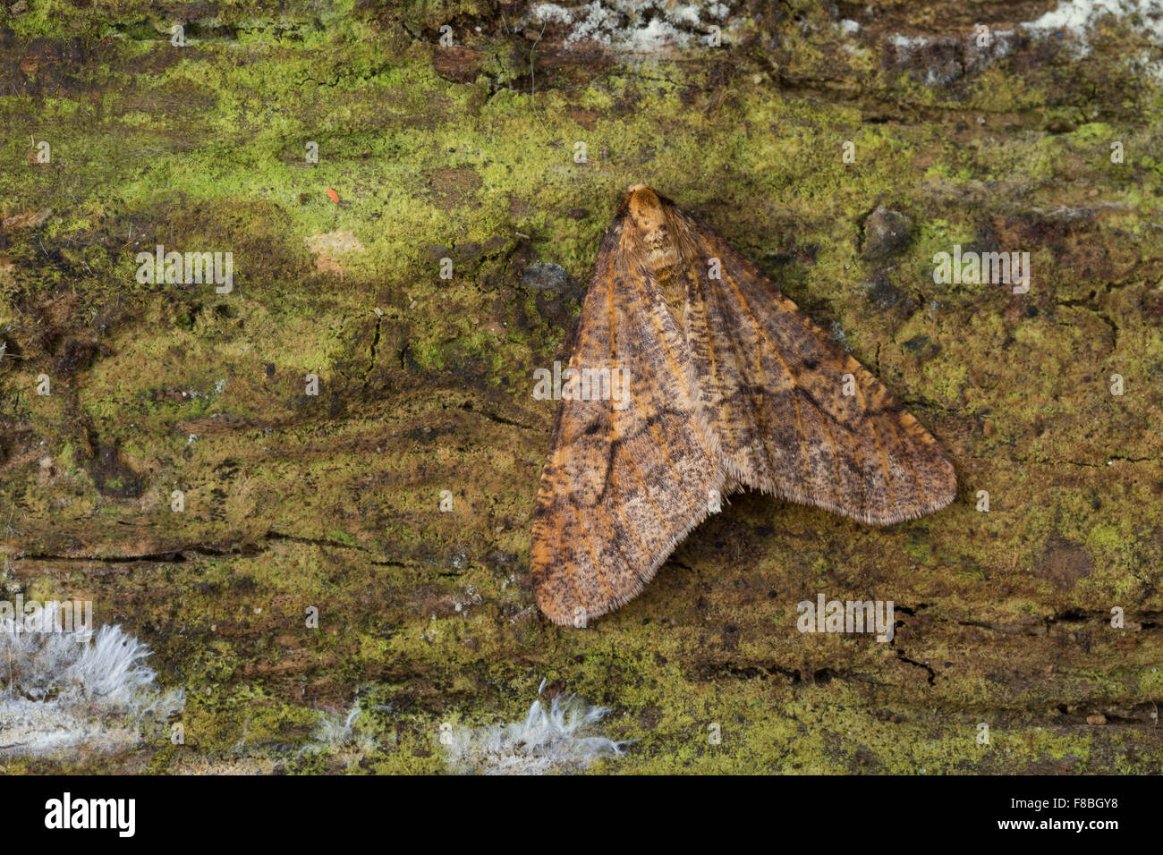 Mottled Umber, male, Großer Frostspanner, Männchen, Erannis defoliaria, Phalaena defoliaria, Hybernia - Stock Image
