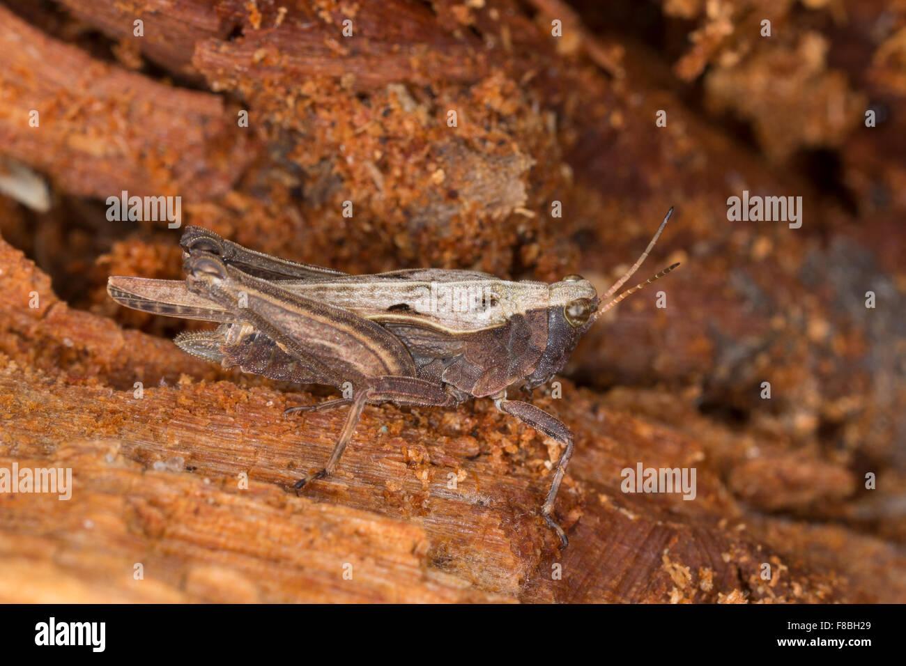Slender Ground-hopper, Groundhopper, Säbel-Dornschrecke, Säbeldornschrecke, , Dornschrecke, Tetrix subulata, - Stock Image