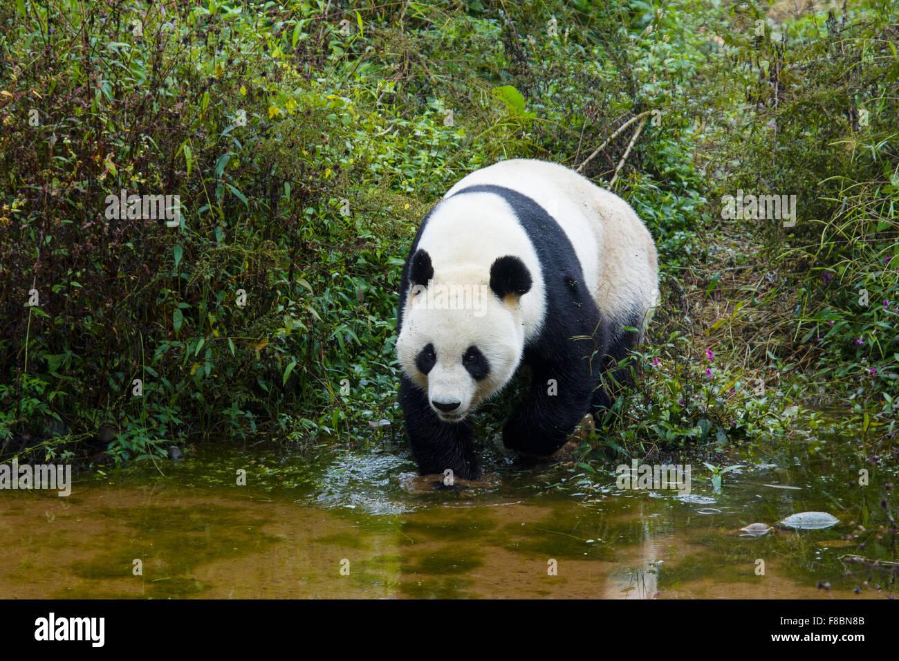 Panda Ailuropoda melanoleuca Bifengia Panda Base Sichuan Province China MA003062 - Stock Image