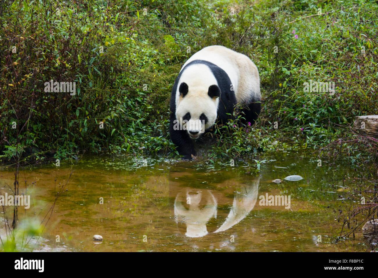 Panda Ailuropoda melanoleuca Bifengxia Panda Base Sichuan Province China MA003066 - Stock Image
