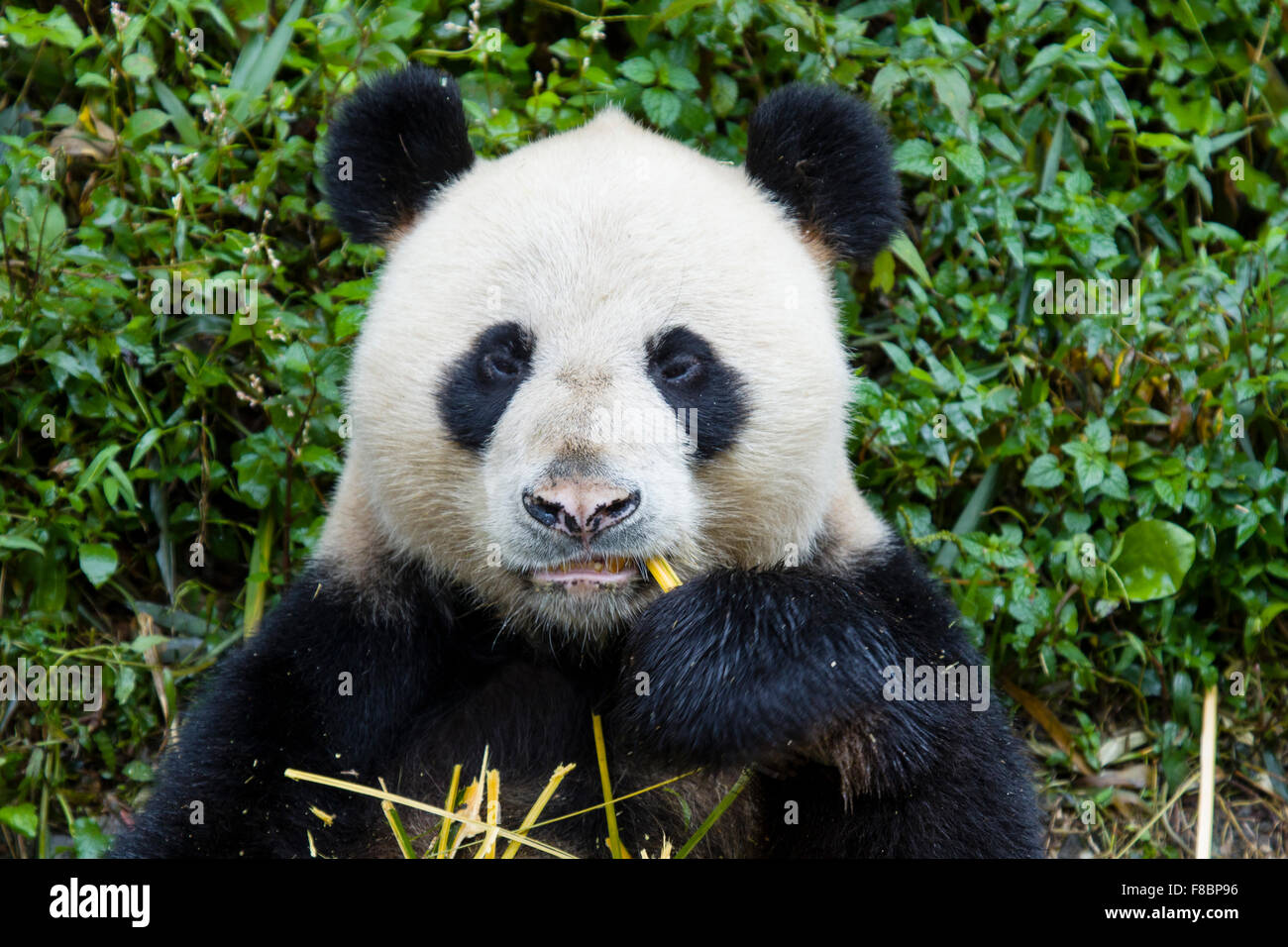 Panda Ailuropoda melanoleuca Bifengxia Panda Base Sichuan Province China MA003069 - Stock Image