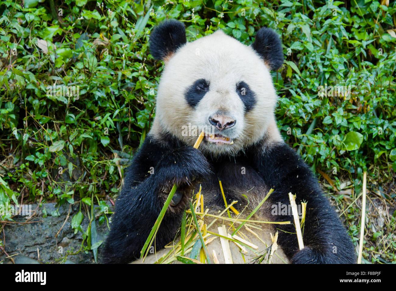 Panda Ailuropoda melanoleuca Bifengxia Panda Base Sichuan Province China MA003070 - Stock Image