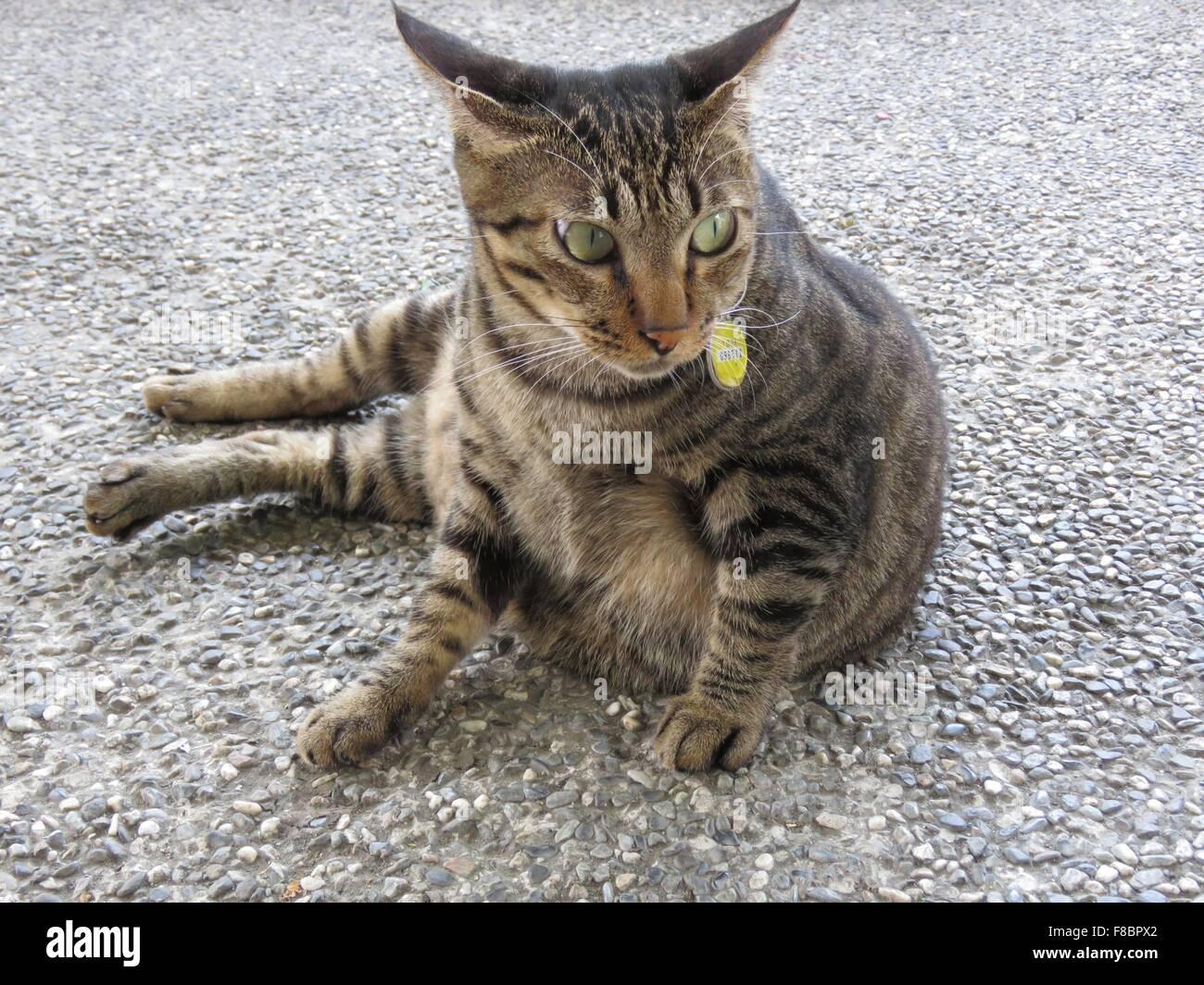 Tabby cat resting outside Stock Photo