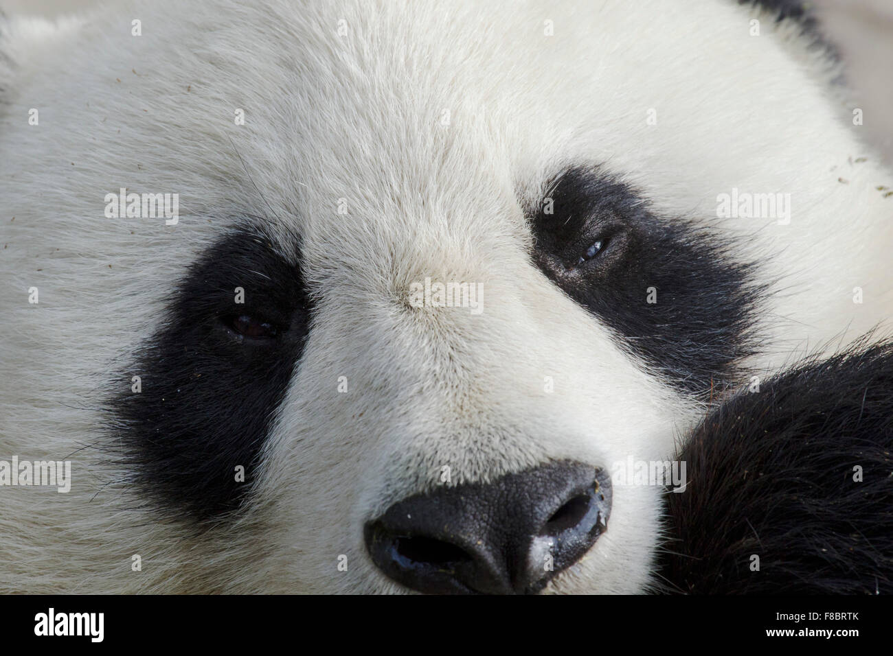 Panda close up Chengdu Panda Breeding Centre Sichuan Province China MA003082 - Stock Image