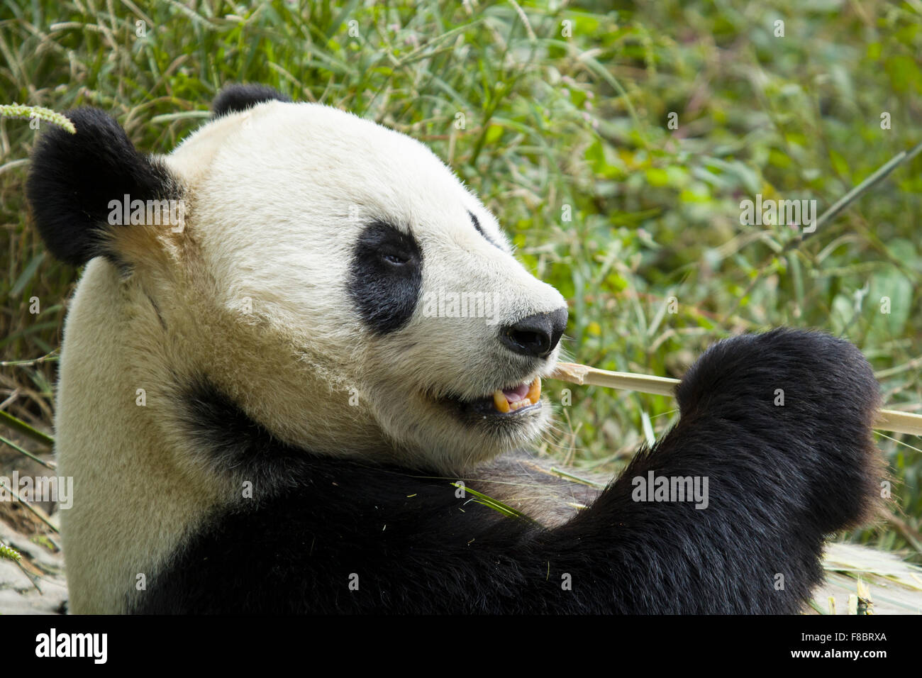 Panda eating Bamboo Chengdu Panda Breeding Centre Sichuan Province China MA003083 - Stock Image