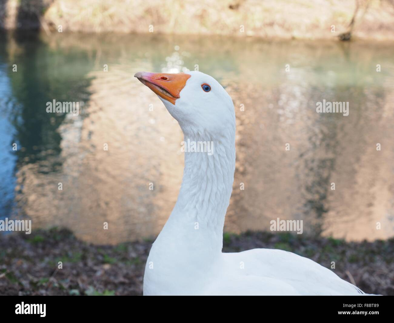 Emden goose by the water Stock Photo