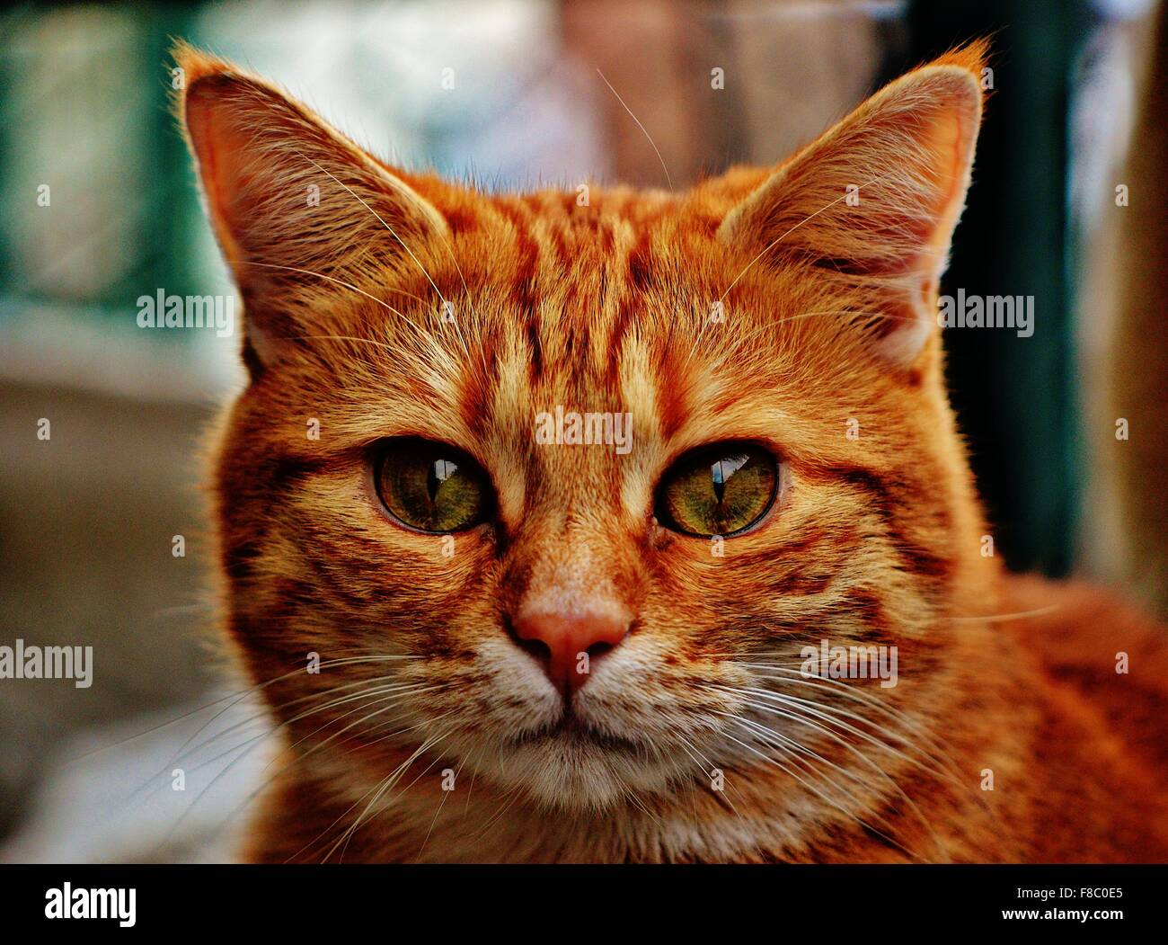 Portrait of a ginger tabby cat outside - Stock Image