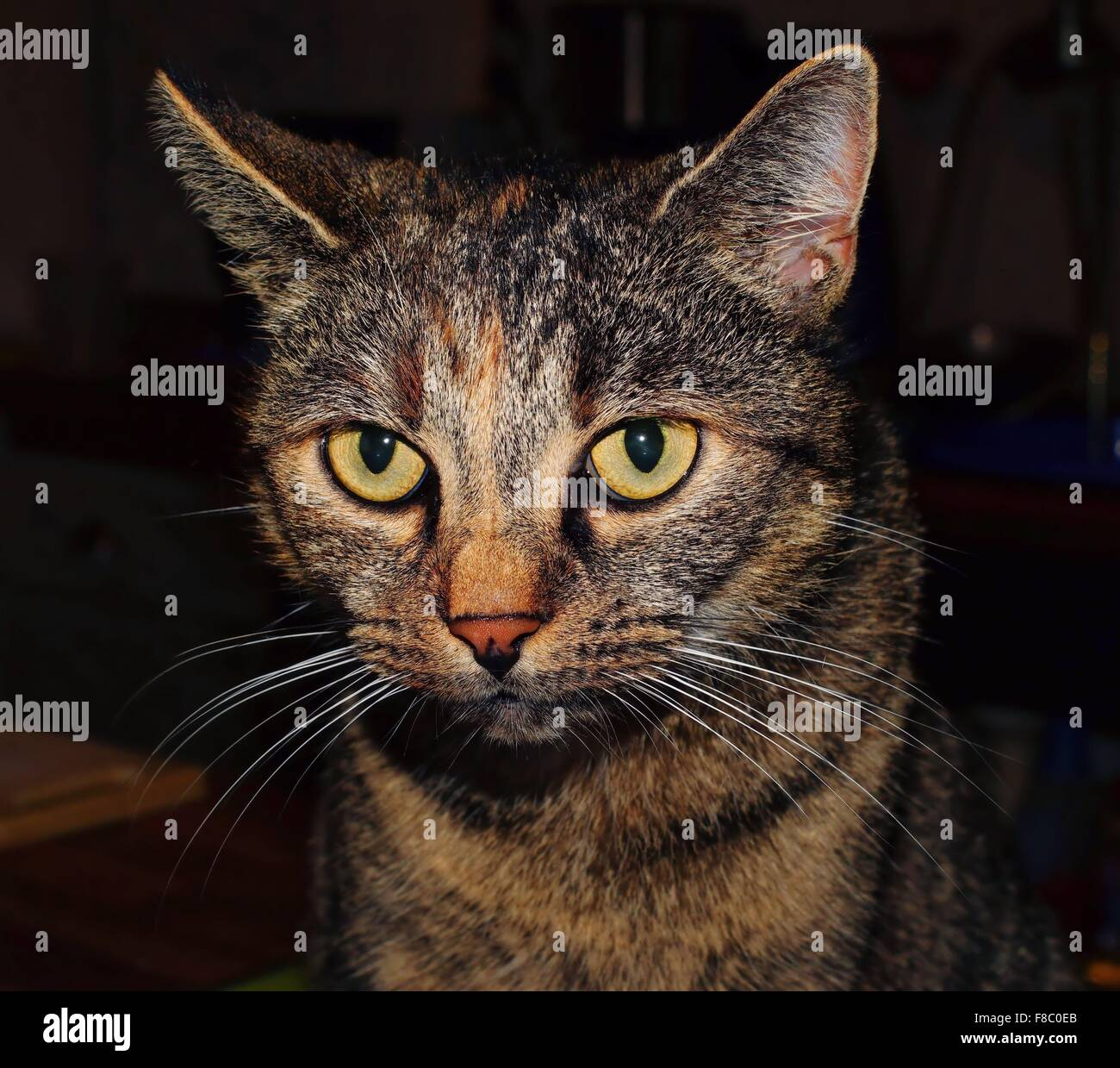 Close-up of a tabby cat indoors - Stock Image