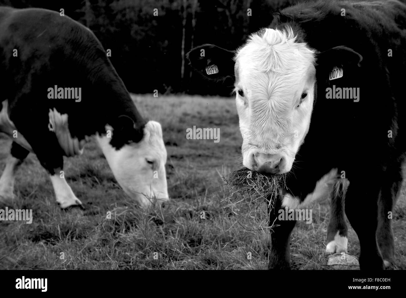 Two black and white cows in a field in black and white Stock Photo