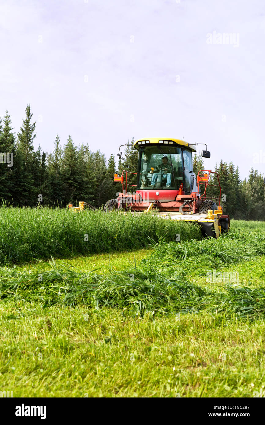 Farmer cutting pea & oat forage crop, New Holland HW345 Mower Conditioner. - Stock Image