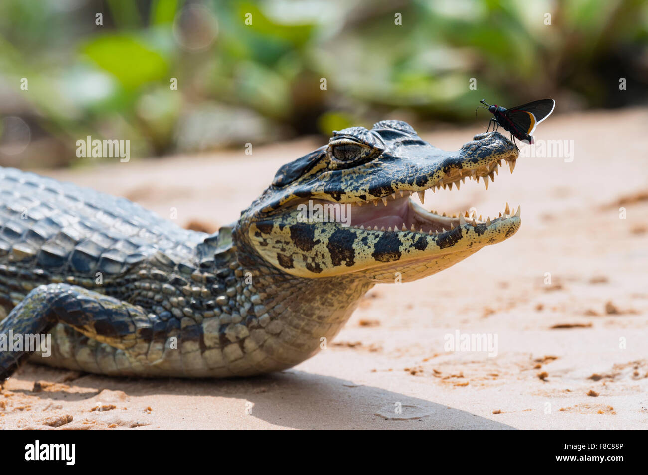 Young Yacare caiman (Caiman yacare) with a butterfly on its nose, Cuiaba river, Pantanal, Brazil - Stock Image