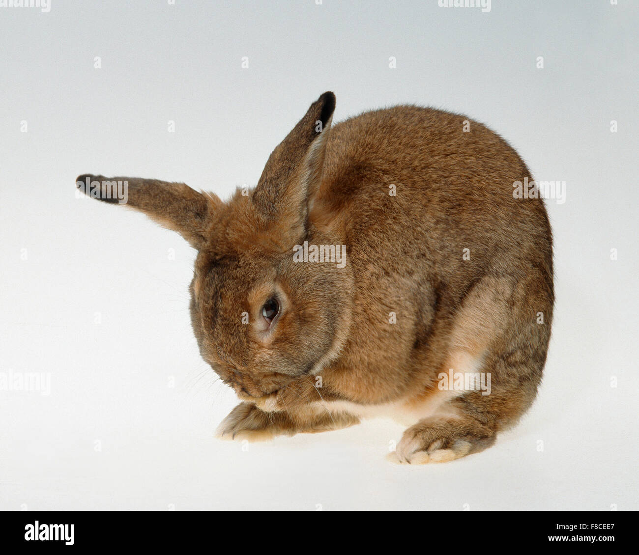 rabbit on a neutral background Stock Photo