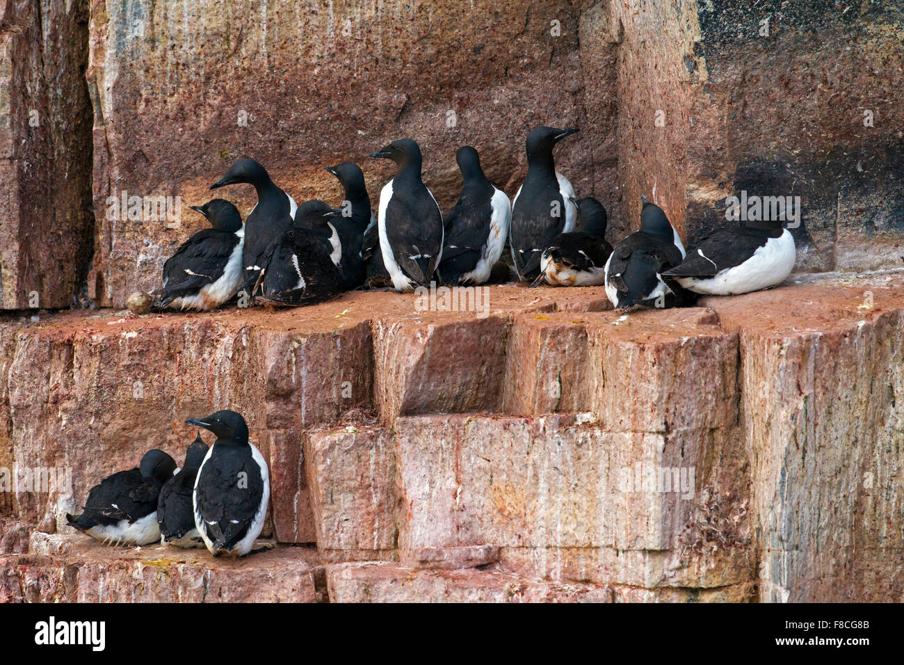 Thick-billed murres / Brünnich's guillemots (Uria lomvia) breeding on rock ledge of sea cliff in seabird - Stock Image
