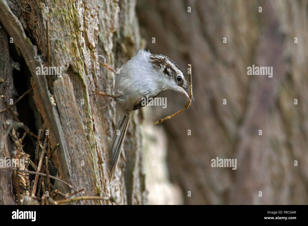 Eurasian treecreeper / common treecreeper (Certhia familiaris) climbing tree trunk with twig as nesting material Stock Photo