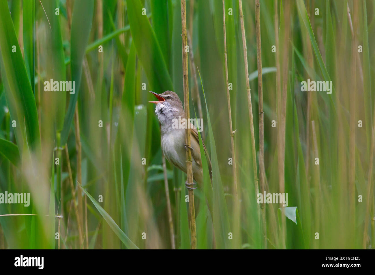 Great reed warbler (Acrocephalus arundinaceus) male singing from reed stem in reedbed in spring Stock Photo