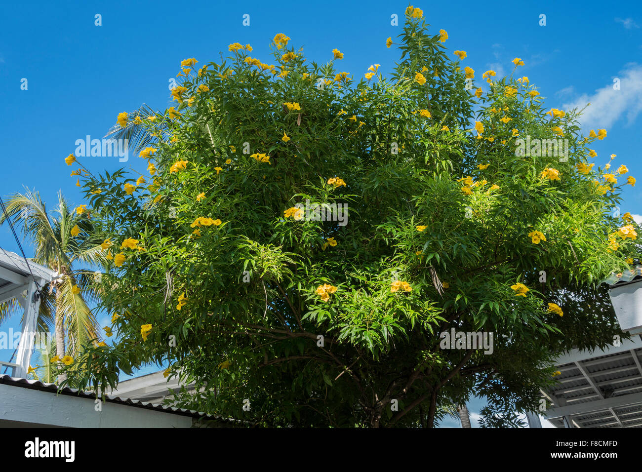 Ginger thomas tacoma stans a tree with yellow trumpet shaped stock ginger thomas tacoma stans a tree with yellow trumpet shaped flowers growing on st croix us virgin islands mightylinksfo