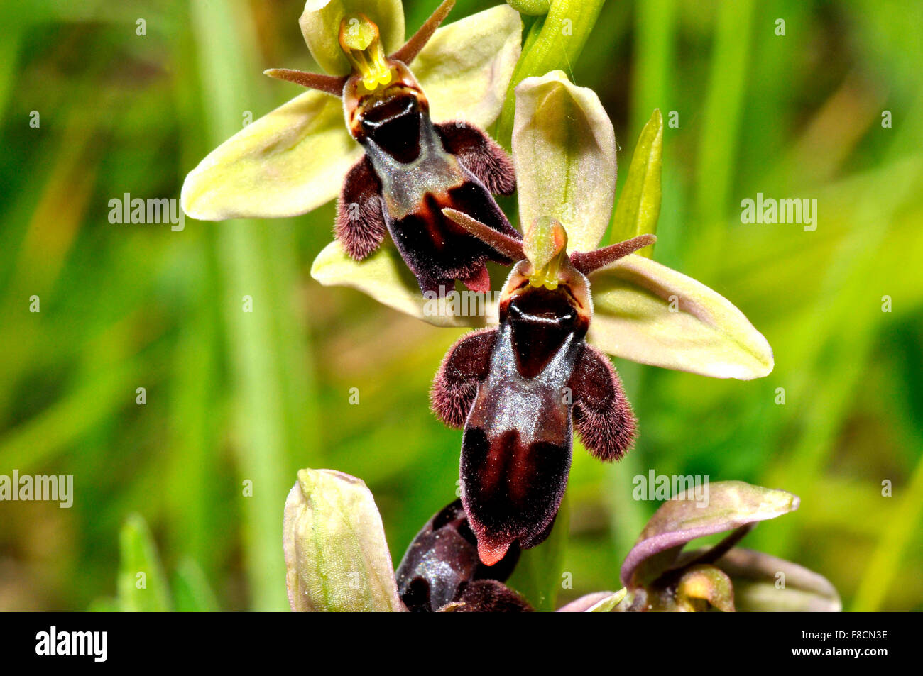 Bee Fly Hybrid Orchid, Small bear like appearance,calcium rich soil, Flowers June,Somerset UK - Stock Image