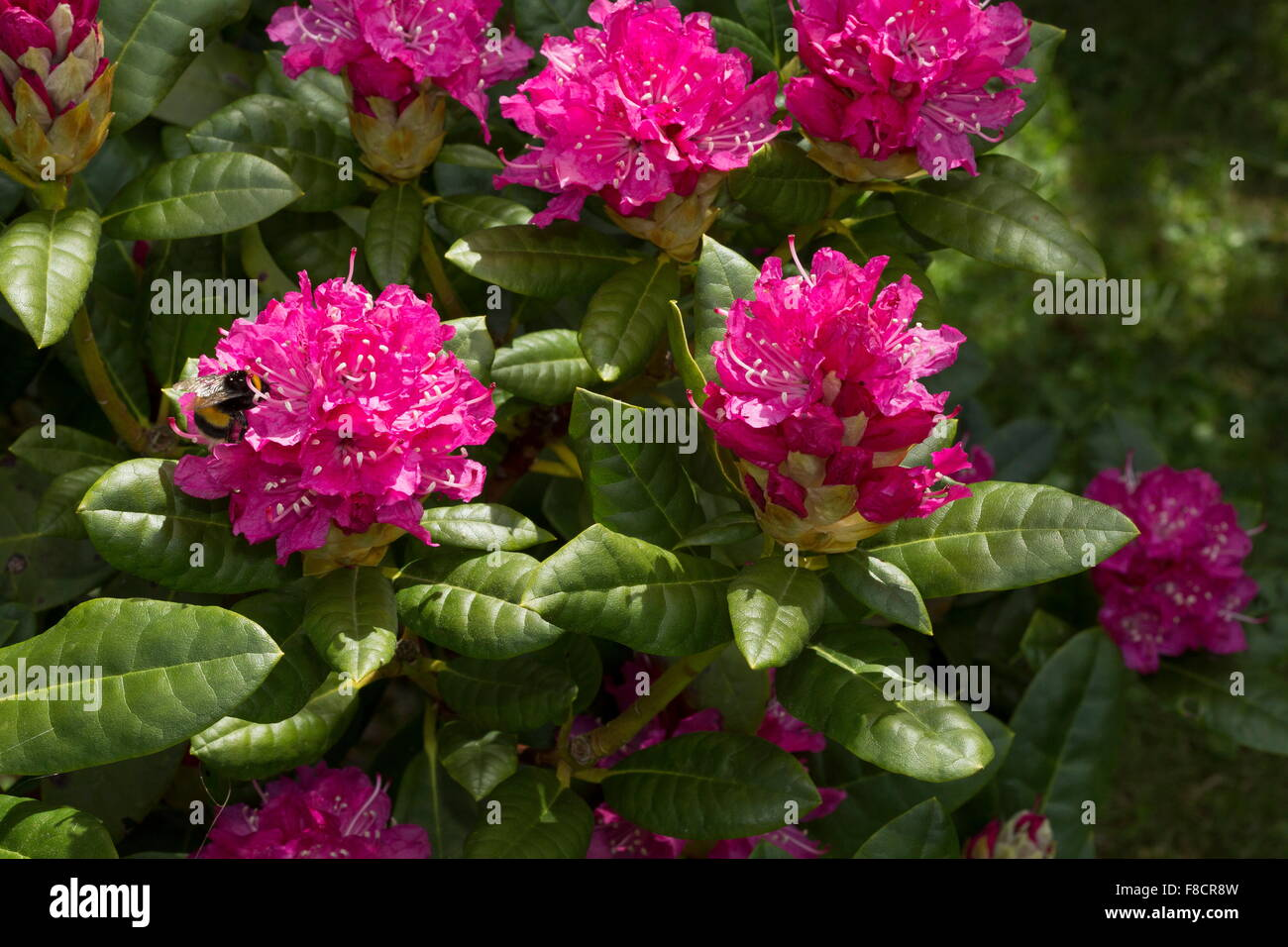 Rhododendron Rocket Garden Variety In Cultivation Stock Photo