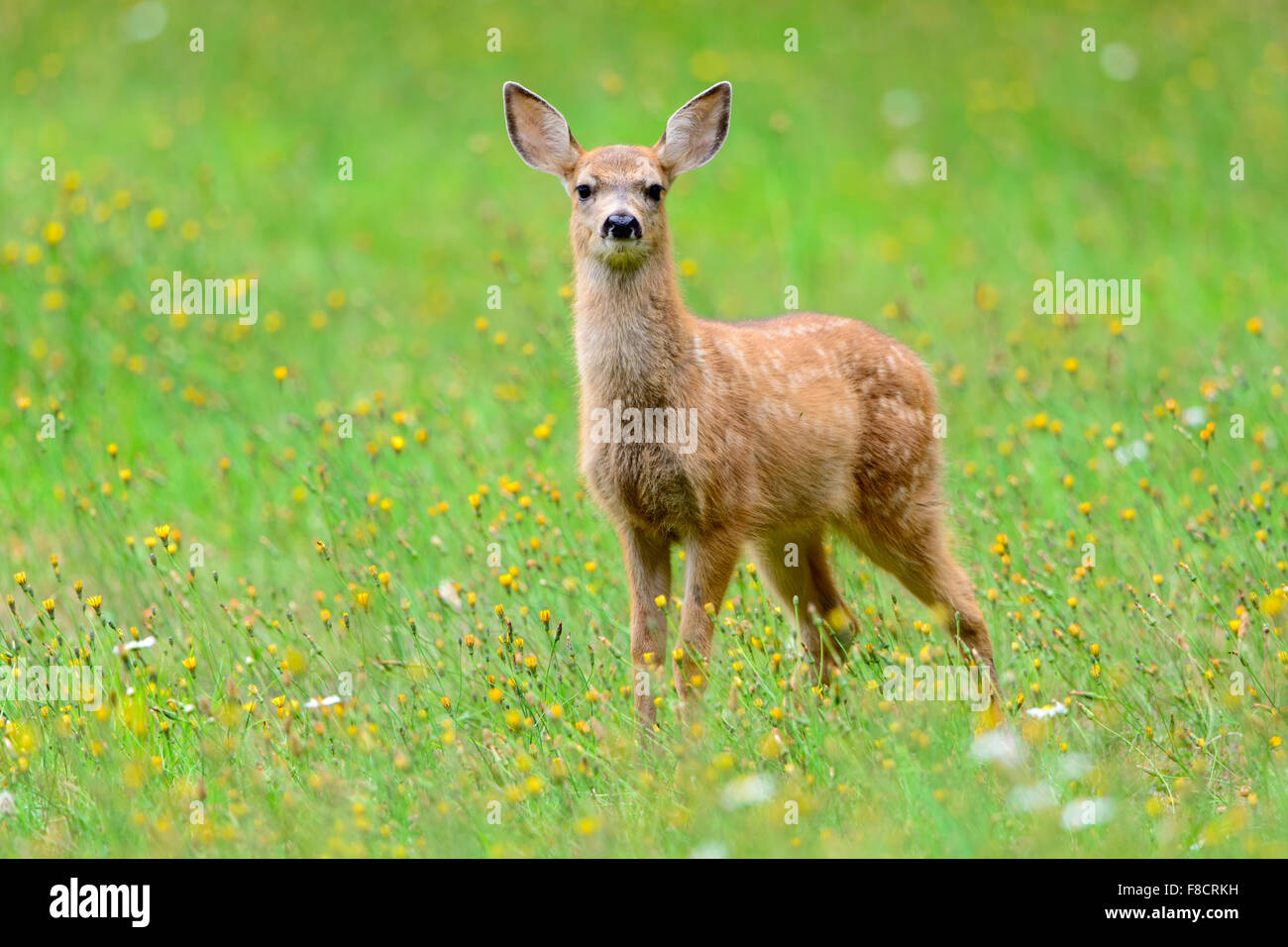 A black-tailed fawn poses in a colorful Mid-Summer meadow, Pacific Northwest - Stock Image