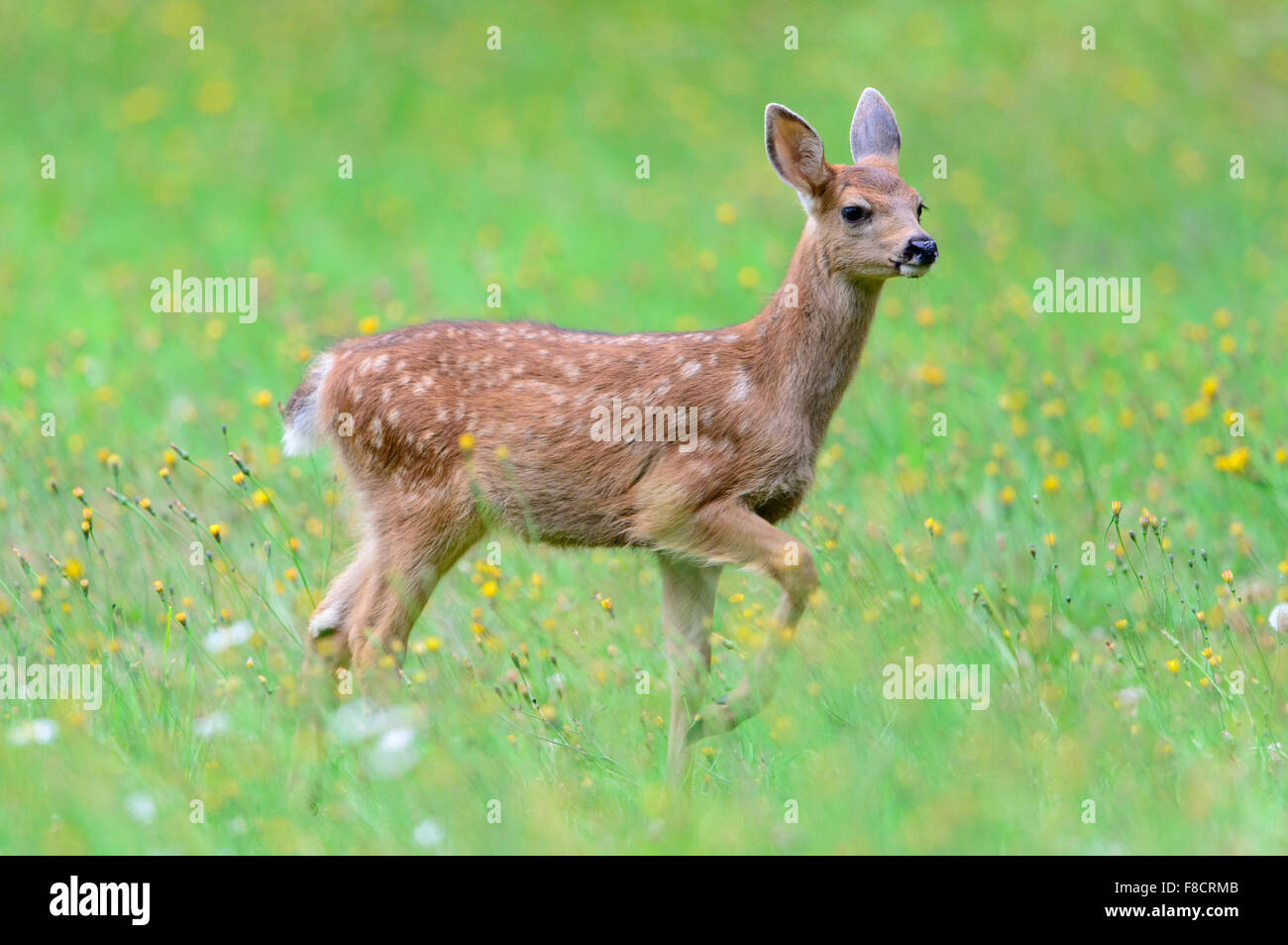 Black-tailed Deer Fawn, Pacific Northwest - Stock Image