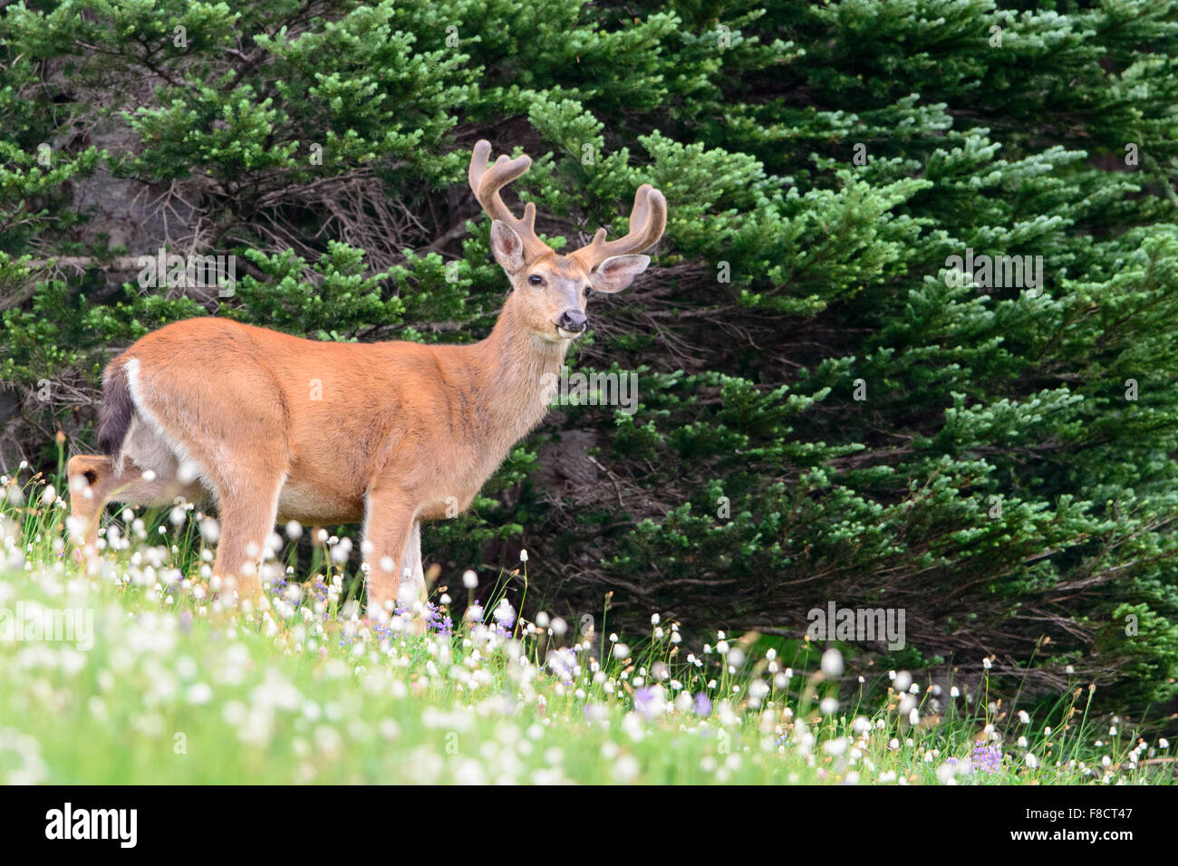 Black-tailed deer buck (Odocoileus hemionus columbianus) in a field of wildflowers, Pacific Northwest - Stock Image