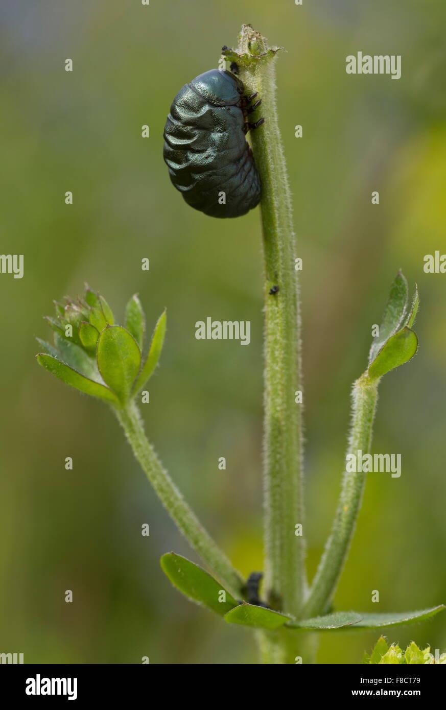 Larva of bloody-nosed beetle, Timarcha tenebricosa, feeding on hedge bedstraw. Coastal - Stock Image