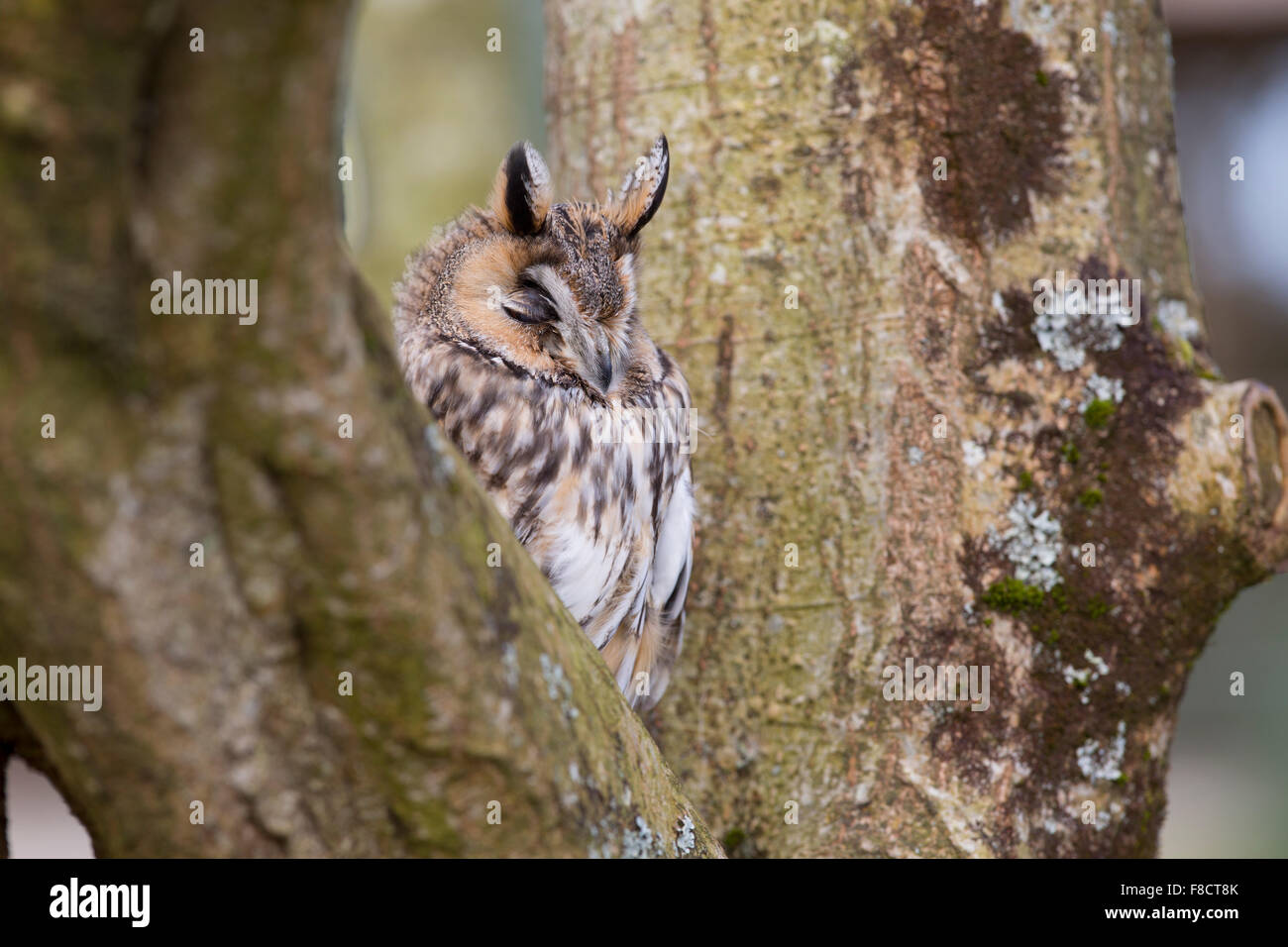 Long Eared Owl; Asio otus Single with Eyes closed; Cornwall; UK - Stock Image