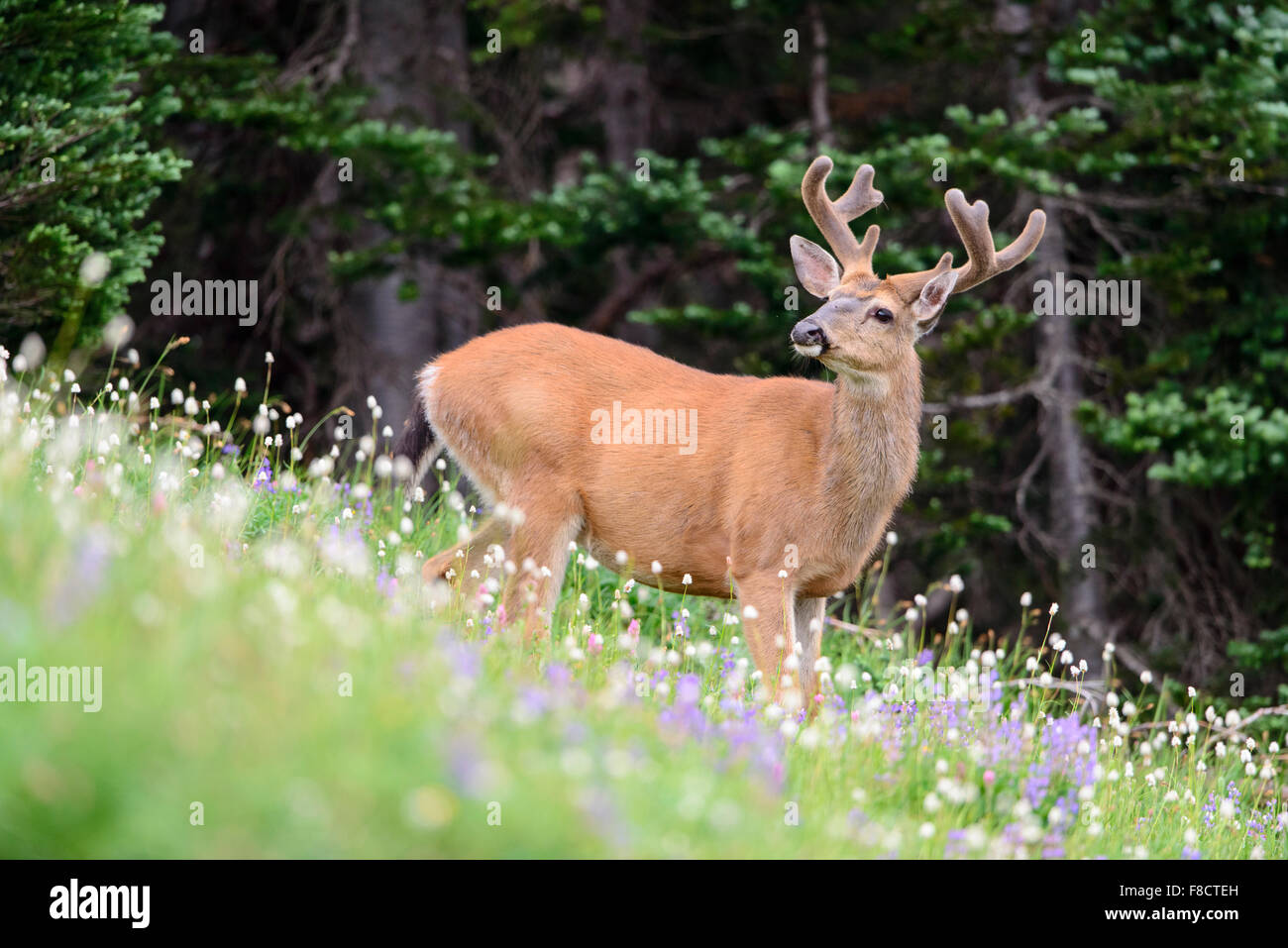Black-tailed Deer Buck (Odocoileus hemionus columbianus), Pacific Northwest - Stock Image